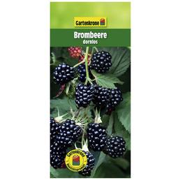 GARTENKRONE Brombeere Rubus fruticosus »Dornlos«