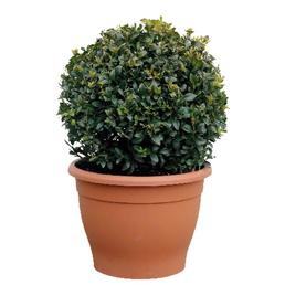 Buchsbaum, Buxus sempervirens arborescens, Blütenfarbe grün