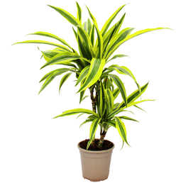 Drachenbaum Dracaena deremensis »Lemon Line«
