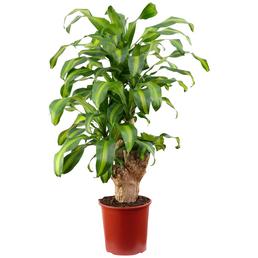 Drachenbaum, Dracaena fragrans »Massangeana«, im Kunststoff-Kulturtopf