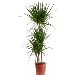 Drachenbaum Dracaena marginata
