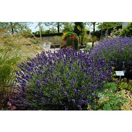 Echter Lavendel, angustifolia, Blüte: violett, winterhart