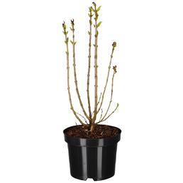 GARTENKRONE Edelflieder, Syringa vulgaris »in Sorten«, Blütenfarbe bunt