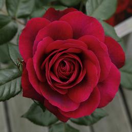 KORDES ROSEN Edelrose, Rosa »Bellevue®«, Blüte: rosarot, gefüllt