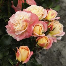 KORDES ROSEN Edelrose, Rosa »Concorde®«, Blüte: apricot, gefüllt