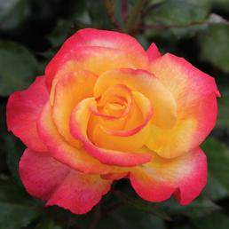 KORDES ROSEN Edelrose, Rosa »Flaming Star®«, Blüte: orange, gefüllt