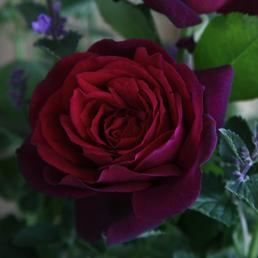 KORDES ROSEN Edelrose, Rosa »Gräfin Diana®«, Blüte: rot, gefüllt