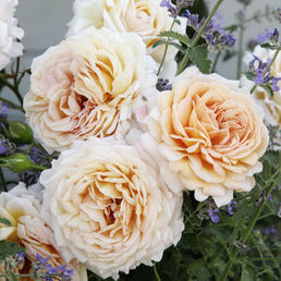 KORDES ROSEN Edelrose, Rosa »Grossherzogin Luise®«, Blüte: apricot, gefüllt