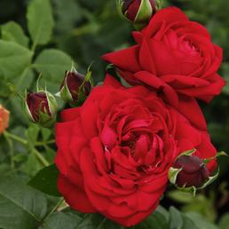 KORDES ROSEN Edelrose, Rosa »Tiamo®«, Blüte: rot, gefüllt