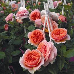 ROSEN TANTAU Edelrose, Rosa x hybrida »Chippendale«, Blüte: orange, gefüllt