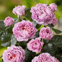 ROSEN TANTAU Edelrose, Rosa x hybrida »Eisvogel«, Blüte: violett, gefüllt