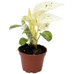Efeutute Epipremnum pinnatum