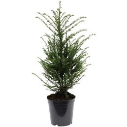 Eibe baccata Taxus »Spezialität (Grün in Form)«