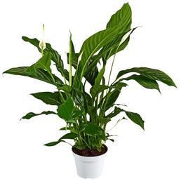 GARTENKRONE Einblatt, Spathiphyllum wallisii, Blütenfarbe: weiß