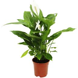 EXOTENHERZ Einblatt, Spathiphyllum wallisii »Cupido«, Blattfarbe: grün