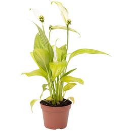 Einblatt, Spathiphyllum »Yess«, Blüte: weiß