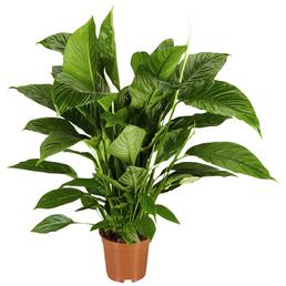 GARTENKRONE Einblatt, Spatiphyllum wallisii, Blüte: weiß