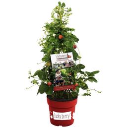 Lucky Berry Erdbeere, Fragaria Lucky Berry»Lucky Berry«, Blütenfarbe: weiß