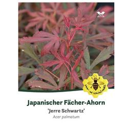 Fächerahorn, Acer palmatum »Jerre Schwartz«, Blattfarbe rot/braun