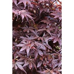 Fächerahorn, Acer palmatum »Pixie«, Blattfarbe rot