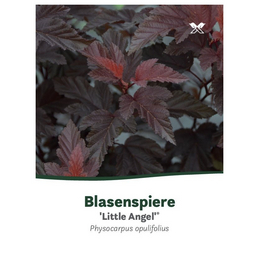 Fasanenspiere, Physocarpus opulifolius »Little Angel«, Blütenfarbe weiß