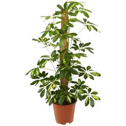 GARTENKRONE Fingeraralie, Strahlenaralie Schefflera arboricola