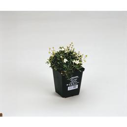 Fingerstrauch, tridentata Potentilla »Nuuk«, Blüten: weiß, Ø Topf: 9 cm cm