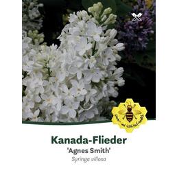 Flieder, Syringa josiflexa »Agnes Smith«, Blütenfarbe weiß