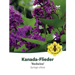 Flieder, Syringa prestoniae »Redwine«, Blütenfarbe rot