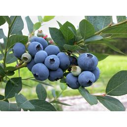 GARTENKRONE Garten-Heidelbeere Vaccinium corymbosum »Bluegold«