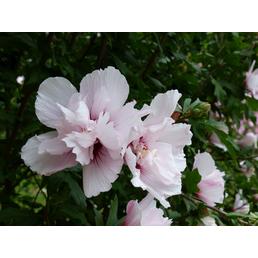 Garteneibisch, Hibiskus syriacus »China Chiffon«, Blütenfarbe weiß/rosa