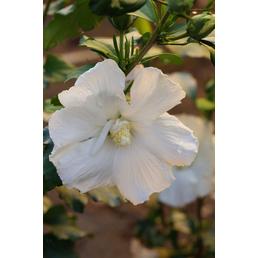 Garteneibisch, Hibiskus syriacus »Diana«, Blütenfarbe rosarot