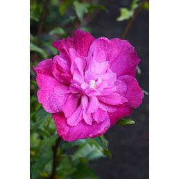 Garteneibisch, Hibiskus syriacus »Magenta Chiffon«, Blütenfarbe rosarot