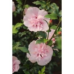 Garteneibisch, Hibiskus syriacus »Pink Chiffon «, Blütenfarbe pink