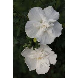 Garteneibisch, Hibiskus syriacus »White Chiffon«, Blütenfarbe weiß