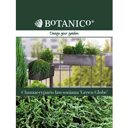 BOTANICO Gartenzypresse Chamaecyparis lawsoniana »Green Globe«