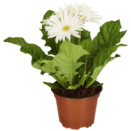 GARTENKRONE Gerbera, Gerbera hybrid, Blüte: weiß
