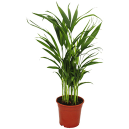 Goldfruchtpalme Dypsis lutescens »Areca«