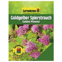 GARTENKRONE Goldgelber Spierstrauch, Spiraea japonica »Golden Princess«, Blütenfarbe rosa/pink