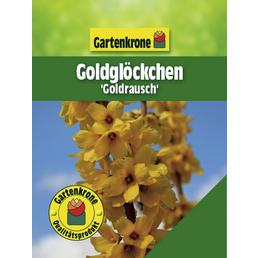 GARTENKRONE Goldglöckchen, Forsythia intermedia »Goldrausch«, Blütenfarbe gelb