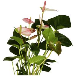 GARTENKRONE Große Flamingoblume Anthurium andraeanum 6 – 8 Blüten rosa Ø 14 cm