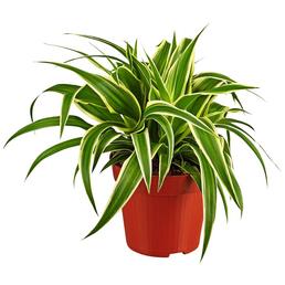 GARTENKRONE Grünlilie, Chlorophytum comosum, im Kunststoff-Kulturtopf