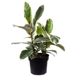 Gummibaum Elastica Ficus »Tineke«