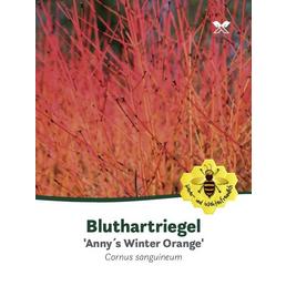 Hartriegl, Cornus sanguinea »Annys Winter Orange«, Blütenfarbe cremeweiß