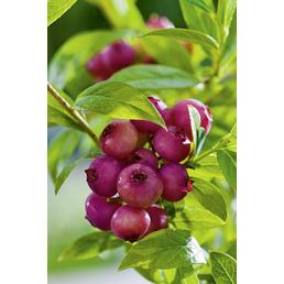 Heidelbeere Vaccinium corymbosum »Pink Lemonade«