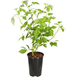 GARTENKRONE Himbeere Rubus idaeus »Aroma Queen - R-«