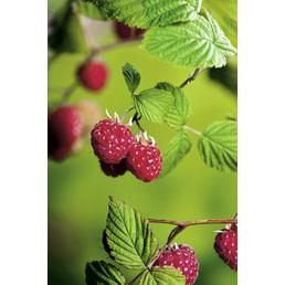 Himbeere Rubus idaeus »TulaMagic«
