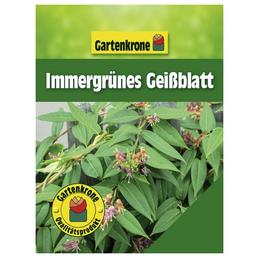 GARTENKRONE Immergrünes Geißblatt, Lonicera henryi, orange, winterhart