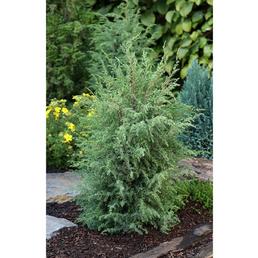 Irischer Säulen-Wacholder communis Juniperus »Hibernica«