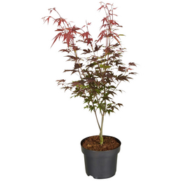 GARTENKRONE Japanischer Fächerahorn, Acer palmatum »Atropurpureum«, Blattfarbe rot